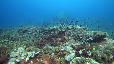 Hard and soft coral reef with group of bicolor chromis (Chromis margaritifer)