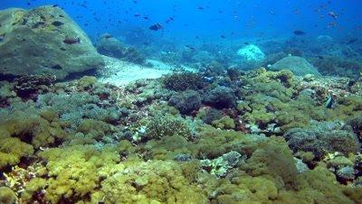 Banded sea krait (Laticauda colubrina) in soft coral then swimming up