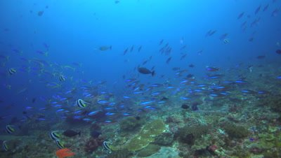 School of lunar fusiliers (Caesio lunaris) mixing with other fusiliers and tropical fishes