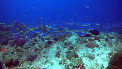 School of lunar fusiliers (Caesio lunaris) swimming over reef
