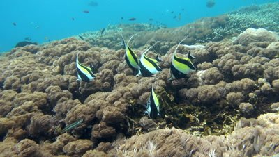 Moorish idol (Zanclus cornutus) swimming over flower soft coral (xenia actuosa)