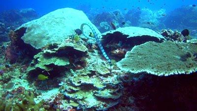 Banded sea krait (Laticauda colubrina) swimming over hard coral