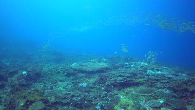 School of blue-lined snapper (Lutjanus kasmira) over coral reef