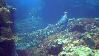 Titan triggerfish (Balistoides viridescens) looking for food