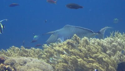 Humpback unicornfish (Naso brachycentron)