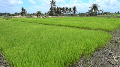 Bright green young rice plants before putting in field