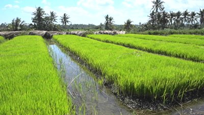 Young rice plants before putting in field, panning left
