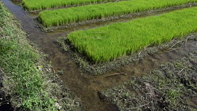 Young rice plants before putting in field, tilting up