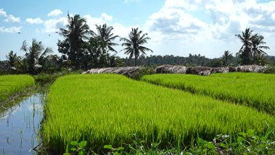 Young rice plants before putting in field