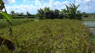 Field of purple flowers for offering and young rice plants just planted in the field, panning right