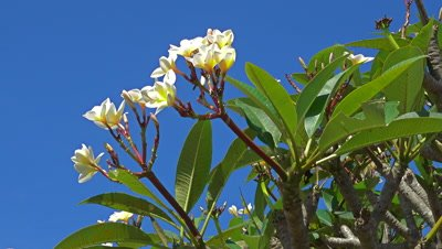 White frangipani flowers on tree
