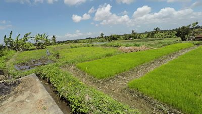Young rice plants before putting in field, panning right