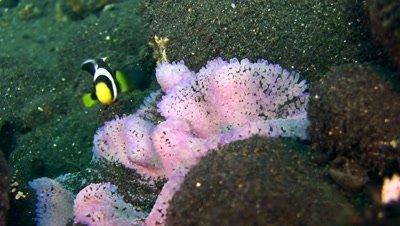 Panda clownfish (Amphiprion polymnus) in purple anemone