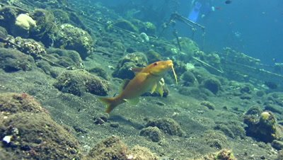Goldsaddle goatfish (Parupeneus cyclostomus) getting cleaned by wrasse