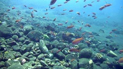 Coral grouper (Cephalopholis miniata) with group of colorful anthias