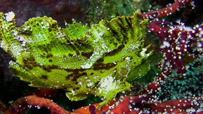 Leaf scorpionfish (Taenianotus triacanthus) yellow-green