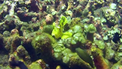 Leaf scorpionfish (Taenianotus triacanthus) yellow-green swimming on top of table coral