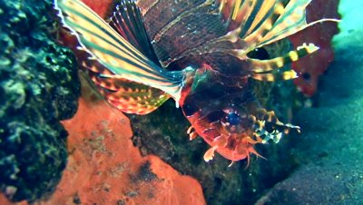 Shortfin lionfish (Dendrochirus brachypterus), close up