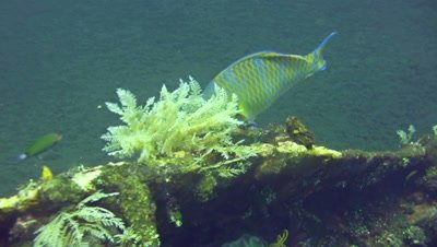 Blue-barred parrotfish (Scarus ghobban)