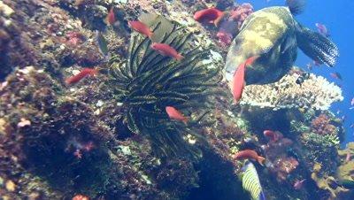 Blue-spotted pufferfish (Arothron caeruleopunctatus) eating