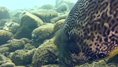Map pufferfish (Arothron mappa) eating, close up head