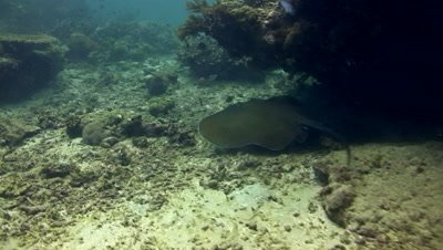 Jenkins whipray (Himantura jenkinsii) swimming over coral reef