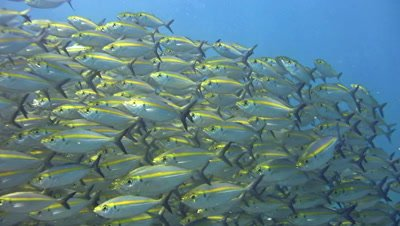 Yellow-striped scad (Selaroides leptolepis) in school with bluefin trevally (Caranx melampygus) following them