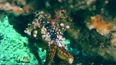 Harlequin shrimp (Hymenocera elegans) lifting sea star and fish trying to make them fall