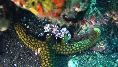 Harlequin shrimp (Hymenocera elegans) on top of sea star