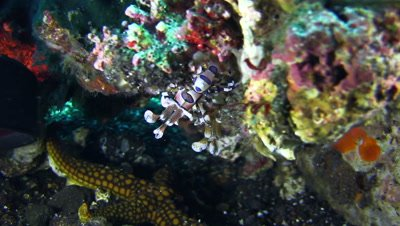 Harlequin shrimp (Hymenocera elegans) above sea star