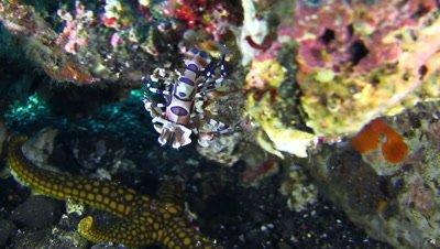 Harlequin shrimp (Hymenocera elegans) above sea star and dropping on it