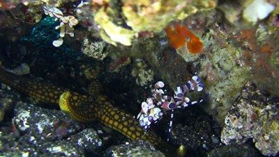 Harlequin shrimp (Hymenocera elegans) lifting sea star with another shrimp above