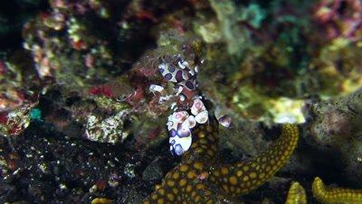 Harlequin shrimp (Hymenocera elegans) holding sea star and checking it