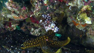 Harlequin shrimp (Hymenocera elegans) on top of sea star and checking it