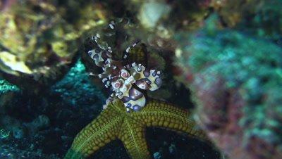 Harlequin shrimp (Hymenocera elegans) holding sea star