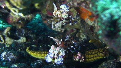 Harlequin shrimp (Hymenocera elegans) holding sea star with another shrimp above