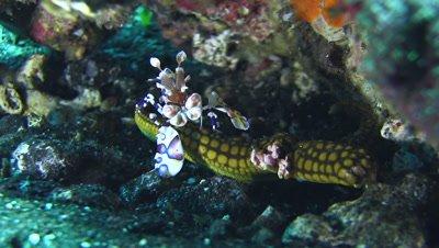 Harlequin shrimp (Hymenocera elegans) lifting sea star
