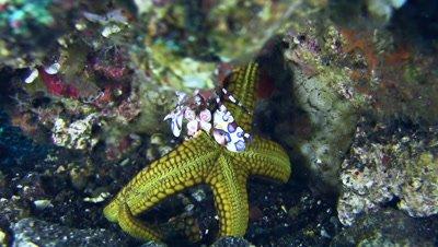 Harlequin shrimp (Hymenocera elegans) lifting sea star and another shrimp chasing a fish