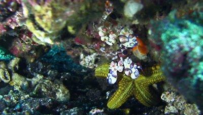 Harlequin shrimp (Hymenocera elegans) holding sea star with another shrimp next to it
