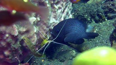 White-banded cleaner shrimp (Lysmata amboinensis) cleaning three-spot dascyllus (Dascyllus trimaculatus)