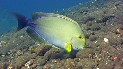 Yellowfin surgeonfish (Acanthurus xanthopterus) eating
