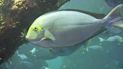 Yellowmask surgeonfish (Acanthurus mata) close up