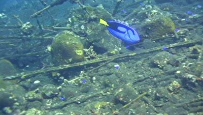Palette surgeonfish or Dori (Paracanthurus hepatus) eating algae