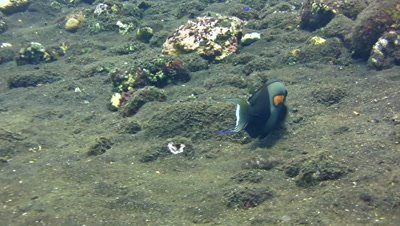 Orangeband surgeonfish (Acanthurus olivaceus) eating