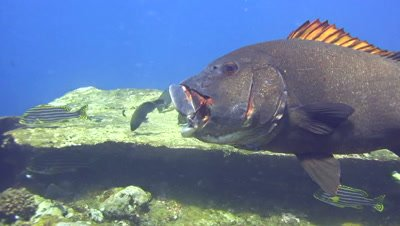Giant sweetlips (Plectorhinchus albovittatus) mouth open, getting cleaned by wrasse