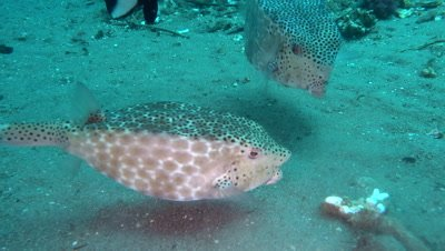Shortnose boxfish (Ostracion nasus) over sand