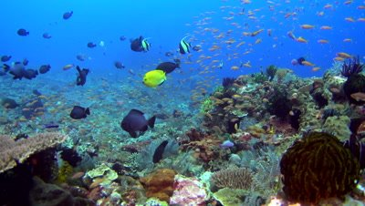 Rock full of soft corals, sponges, feather stars and cloud of colorful anthias swimming around