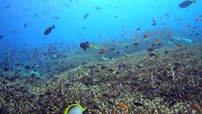 Huge field of acropora coral with cloud of anthias, damselfishes and yellow trumpetfish (Aulostomus chinensis) in the middle