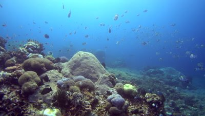 Hard and soft coral reef with cloud of sergeantfishes swimming