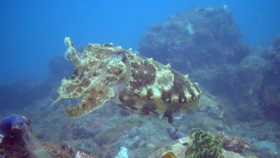 Broadclub cuttlefish (Sepia latimanus) with 2 tentacles up